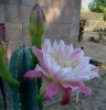cereus huntingtonianus