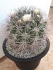 Gymnocalycium saglionis a Cereus validus - Poptávka